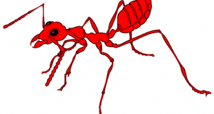ant_red